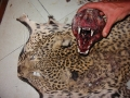 Leopard carcass siezed
