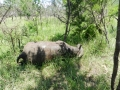 Snared Buffalo