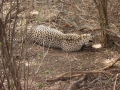 Snared Cheetah