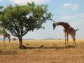 Giraffe and Cheetah