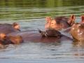 Hippos (8)